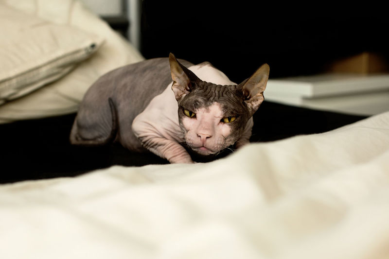 Bed Cat Cats Close-up Creepy Domestic Animals Lurking One Animal Playing Sphynx Yellow Eyes