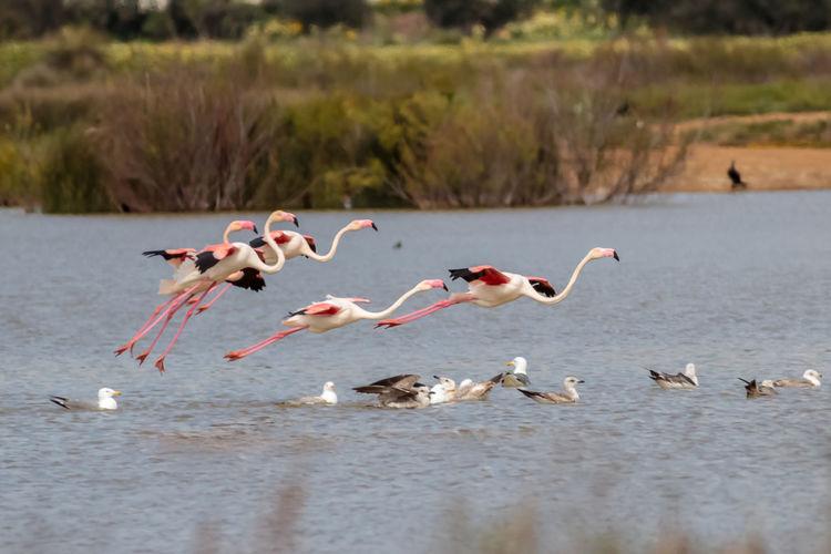 Flamingos flying over lake
