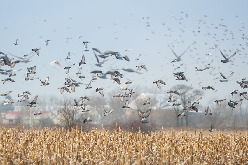 Large Group Of Animals Animal Wildlife Animal Themes Animal Animals In The Wild Field Nature Group Of Animals Day Land Bird No People Sky Flock Of Birds Flying Beauty In Nature Landscape Outdoors Winter Pigeon Pigeons Flock Of Pigeons Flying Birds Agriculture Pests