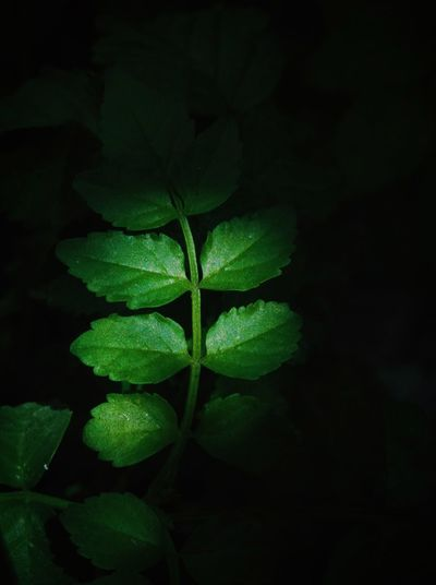 Leaf Green Color Growth Plant Nature Freshness Fragility Beauty In Nature Close-up No People Black Background Night Outdoors Flower Head Garden EyeEm Best Shots - Nature