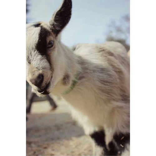 Beacon Hill petting zoo today :) BeaconHillPark Goat Pettingzoo Goodday happy