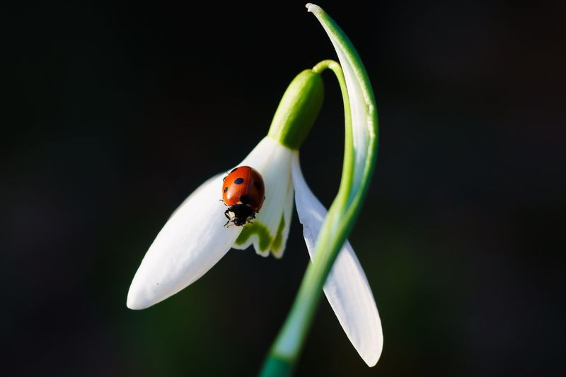Close-up of ladybug on snowdrop