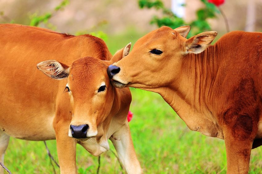 Animal Themes Mammal Animal Group Of Animals Animal Wildlife Animals In The Wild Two Animals No People Vertebrate Domestic Animals Brown Focus On Foreground Day Nature Land Young Animal Field Grass Cow Outdoors