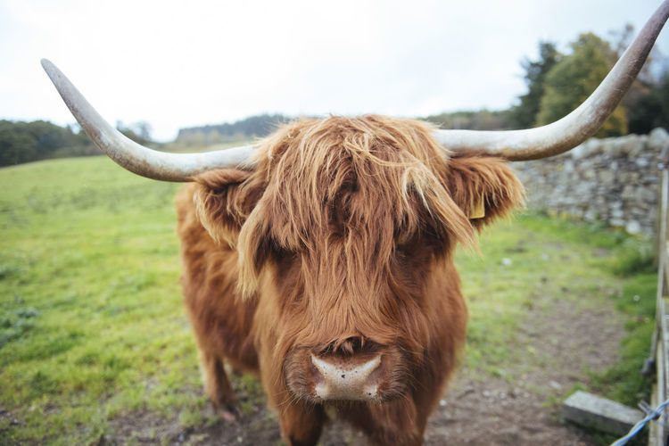 Close Up of a Hairy Coo in the Highlands of Scotland Highland Cattle Horns Scotland Animal Animal Themes Brown Cattle Close-up Coo Cow Day Domestic Animals Domestic Cattle Field Focus On Foreground Grass Highland Cattle Highlands Mammal Nature No People One Animal Outdoors Sky