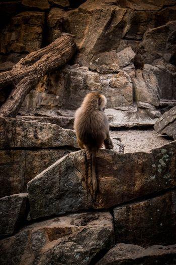 Rear view of monkey sitting on rock