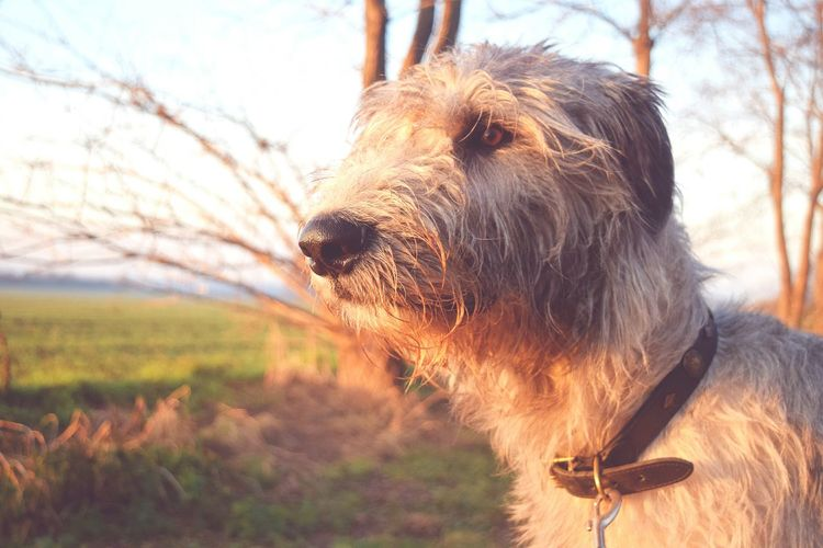 One Animal Close-up Animal Themes Sky Bokeh Looking At Camera Autumn 2016 Showcase December Sunlight December 2016 How's The Weather Today? It Is Cold Outside Cearnaigh Irish Wolfhound Dogslife Dogs Of EyeEm Dog Of The Day Dogwalk Dogs Of Winter Outdoors Eyes Are Soul Reflection