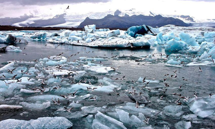 Large Flock Of Seagulls On Glacier In Jokulsarlon Lake