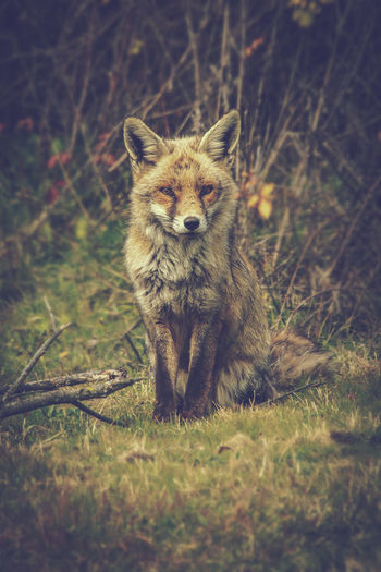 Fox One Animal Mammal Animal Wildlife Animals In The Wild Portrait Grass Looking At Camera Land No People Day Nature Plant Field Vertebrate Standing Outdoors Selective Focus