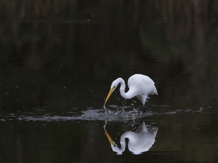 Egret Fishing In Lake