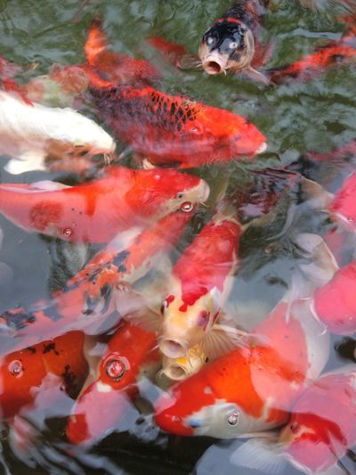 fancy carp fish in pool Multicolor Colorful Color Fancy Fancy Carp Animal Fish Carp Carp Fish Fish Carp Animal Themes Water Large Group Of Animals Group Of Animals Nature Day Outdoors