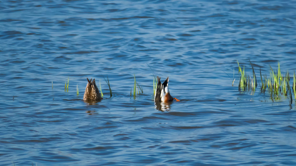 Diving Ducks Animals In The Wild Nature Outdoors Animal Wildlife No People Water Water Bird