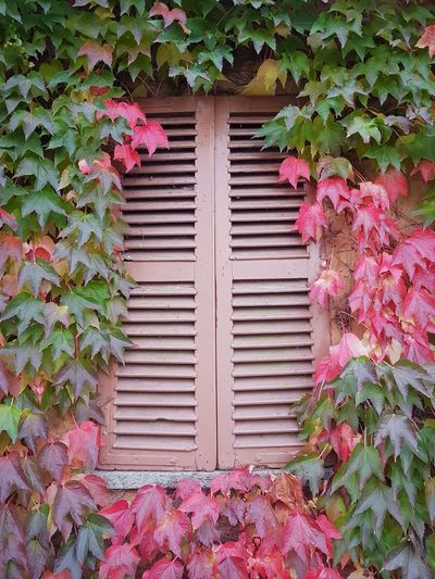 Langhe Autumn Autumn Colors Autumn Leaves Beauty In Nature Ivy Covered Ivy Leaves Ivy In Autumn Textures And Surfaces Leaf Day Outdoors Plant Growth No People Ivy Building Exterior Close-up Nature