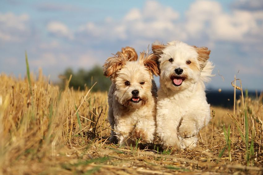two little cute dogs habe fun in the sun on a stubble field FUNNY ANIMALS Running Summertime Action Active Animal Themes Day Dog Domestic Animals Havanese Maltese Mammal Mixed Dog Nature No People Outdoors Party Pets Portrait Sky Sport Stoppelfeld Stubble Field Stubblefield Togetherness