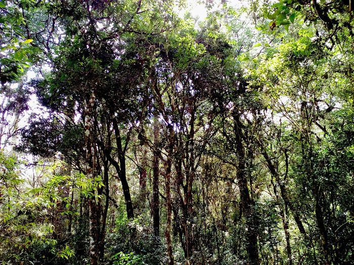 Rainflorest Trees Hortoflorestal Camposdojordao São Paulo, Brasil Nature_collection Mata Atlântica