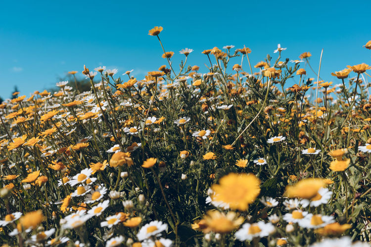 Plant Flower Flowering Plant Growth Beauty In Nature Nature Freshness No People Fragility Vulnerability  Sky Day Selective Focus Land Yellow Field Tranquility Close-up Flower Head Outdoors