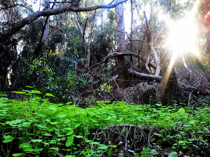 EyeEmNewHere Santa Barbara, CA Santa Barbara, California Trees Wood Beauty In Nature Branch Day Dollar Weed Dollarweed Forest Green Color Growth Landscape Nature No People Outdoors Penny Wort Pennywort Plant Santa Barbara Scenics Tranquility Tree Woods