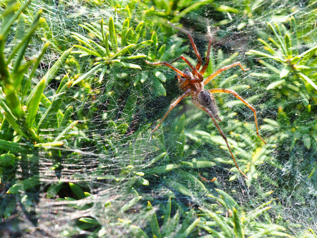 Jeans Brown Photography - Jeans Brown Photography Spider Animal Animal Themes Animal Wildlife Animals In The Wild Arachnid Arachnophobia Close-up Day Green Color Growth Insect Invertebrate Leaf Nature No People One Animal Outdoors Plant Plant Part Spider Spider Web Spiderweb Web