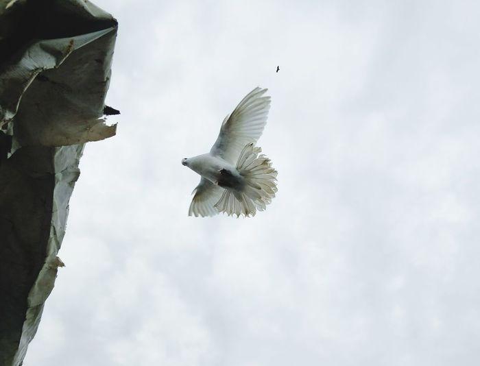 Flying Bird Spread Wings Sky .,- Eagle