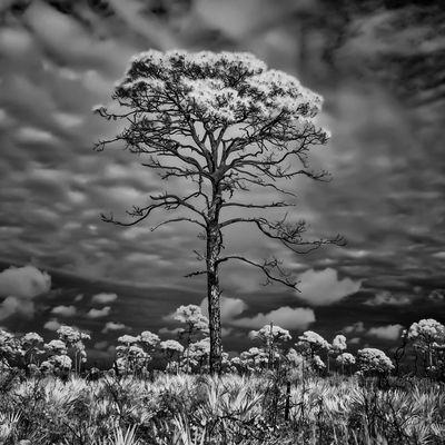Florida Infrared Photography Jonathan Dickinson State Park Lone Pine Cone Minimimalist Pine Scru Squarecrop Taking Photos Thegreatoutdoors-2016eyeemawards The Great Outdoors - 2016 EyeEm Awards Fine Art Photography