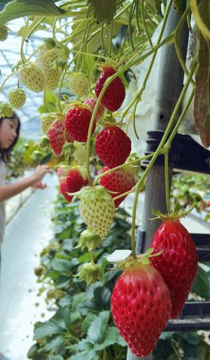 Holiday Enjoying Life Sweet Strawberry Hunting Strawberry Spring Mydaughter