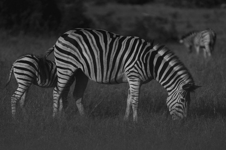 Side view of zebra standing on field