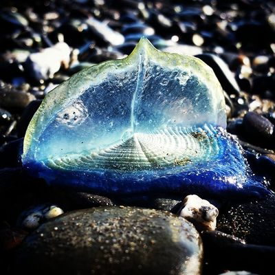 I was so jealous of seeing all these cool pictures of these things, but I finally got a sec to check them out myself. They're so awesome! By The Wind Sailor Velella Oregon Coast