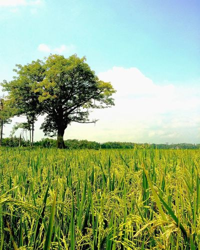 Tree Cereal Plant Rural Scene Agriculture Field Crop  Farm Sky Landscape Cloud - Sky Single Tree Patchwork Landscape Sunflower Cultivated Land Plantation Agricultural Field Rice Paddy Irrigation Equipment Plant Life