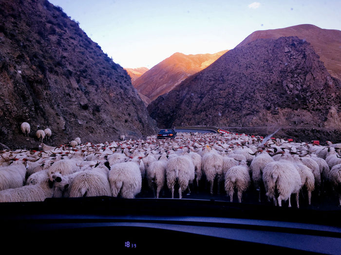 Sheep walking on street seen through car windshield