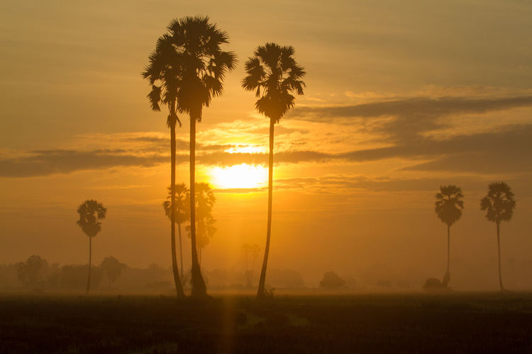 Sugar palm sunset in Thailand Tree Plant Sky Sunset Beauty In Nature Tropical Climate Palm Tree Scenics - Nature Tranquil Scene Sun Silhouette Tranquility Nature Cloud - Sky Orange Color Land Growth Field Sunlight Environment No People Outdoors Coconut Palm Tree
