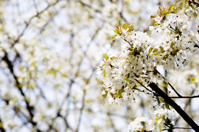 Close up of blooming blossoms in springtime Beauty Beauty In Nature Blooming Blossom Branch Close-up Day First Eyeem Photo Flower Flower Head Fragility Freshness Green Growth Nature Outdoors Petal Season  Spring Springtime Sunny White