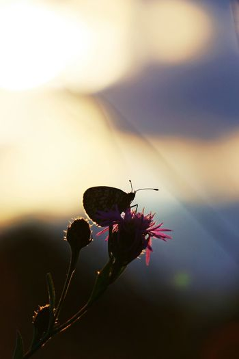 Butterfly Butterflies Butterfly On Flower Butterfly Collection Butterflies And Flowers Macro Macro Photography Macro Nature Beautiful Nature Beauty In Nature Nature Photography Nature_collection Naturelovers Summertime Sunset Sunset Silhouettes