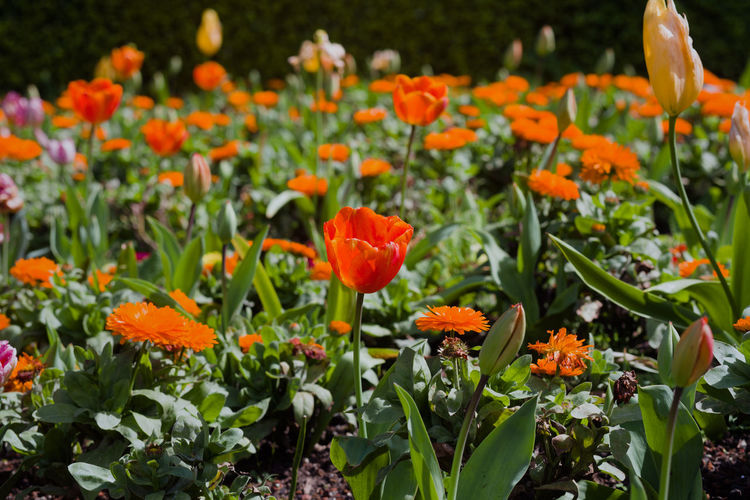 Red, orange, yellow and pink dutch tulips in san francisco's golden gate park