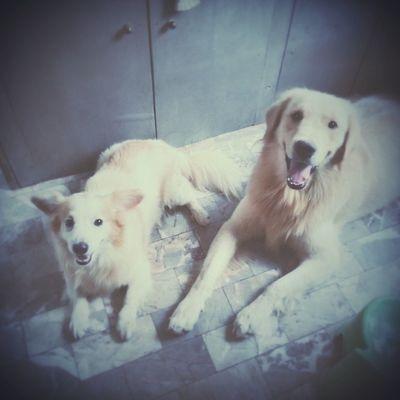 คอร์สฝึกหมาหมอบ วันนี้เป็นระเบียบดีมาก ??? Dog Goldenretriever Pet13 Dogtraining