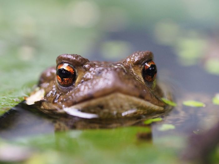 Frosch Frosch Frog Animal Themes Animal Wildlife Animals In The Wild Water Nature Macro Outdoors