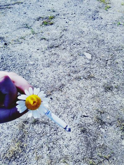 Daisy Daisy Flower Daisy And Cigarette Outdoors Outdoor Photography Sunlight