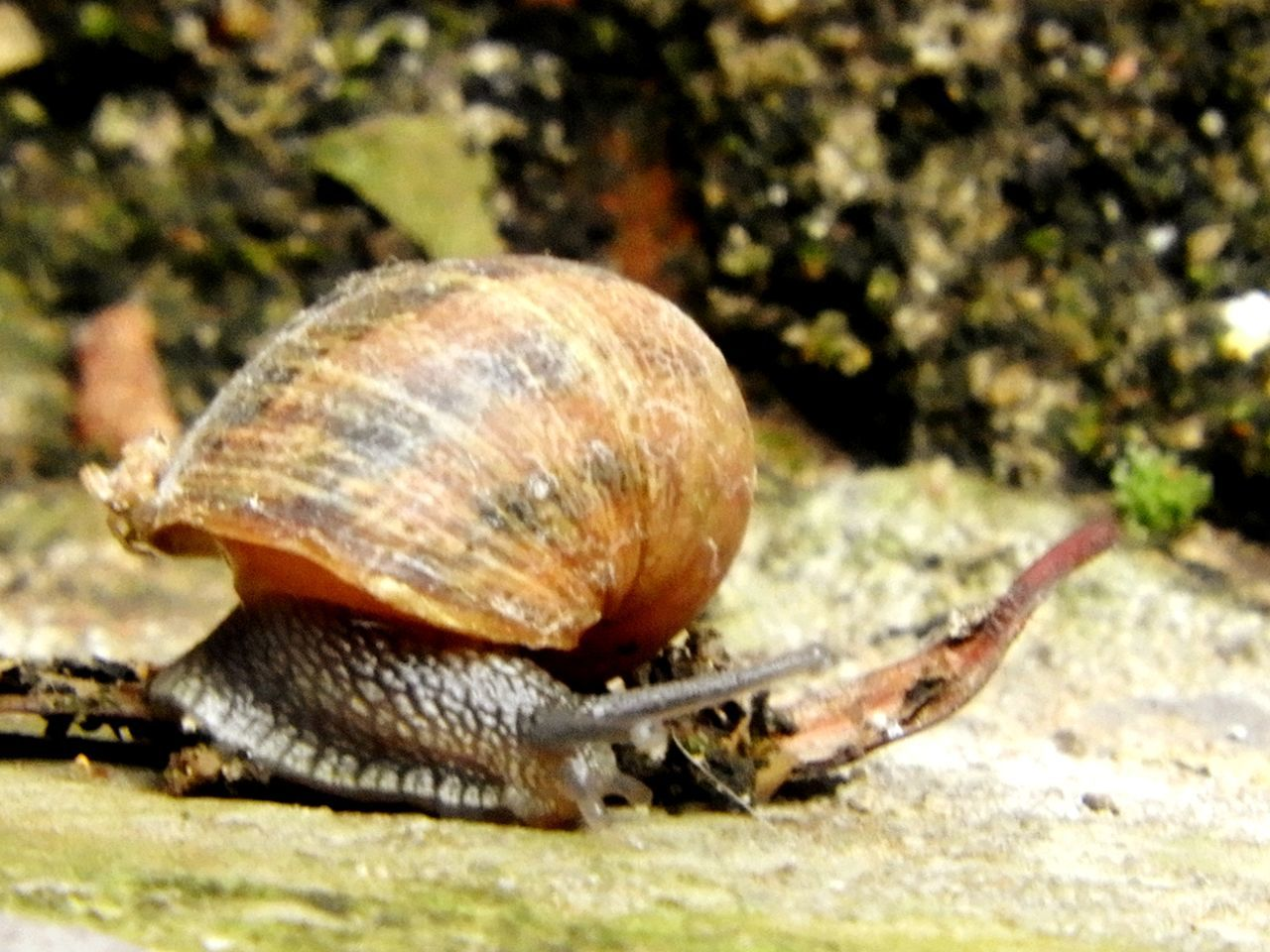 snail, one animal, animal themes, animal shell, wildlife, gastropod, animals in the wild, nature, day, outdoors, no people, close-up, fragility