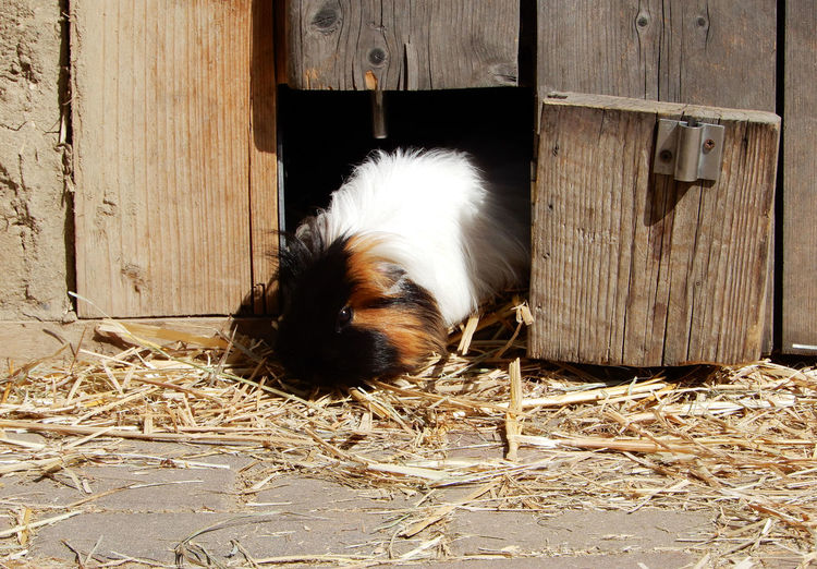 Cavia porcellus, Jugendfarm Moritzhof Petting Zoo Animal Themes One Animal Mammal Animal Wood - Material Day No People Vertebrate Guinea Pig Rodent