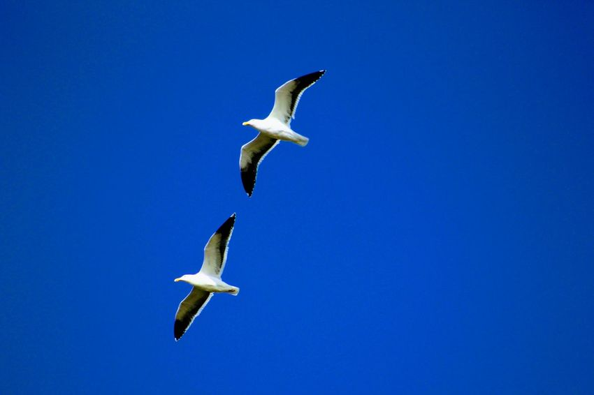 2 seagulls Flying Bird Day Sunny Nature_collection Freedom Sea Bird Seagull Animal Wing
