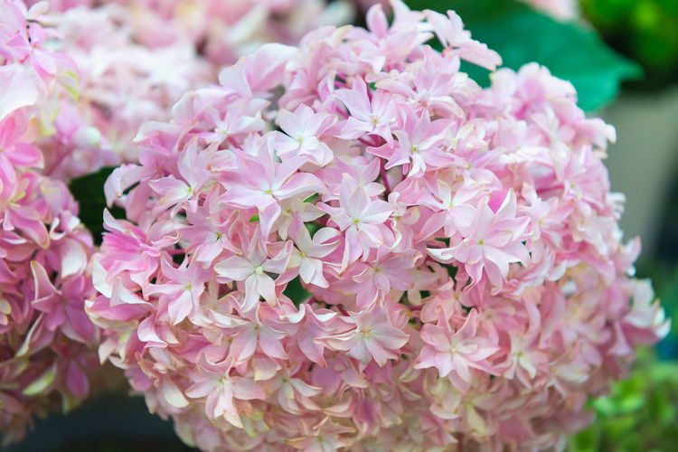 Flower Pink Color, Plant Floriculture Hydrangea Freshness Close Up Selective Focuse Softness Spring Time Beauty In Nature Pental Blossom Blooming Floral Holydays Mathersday