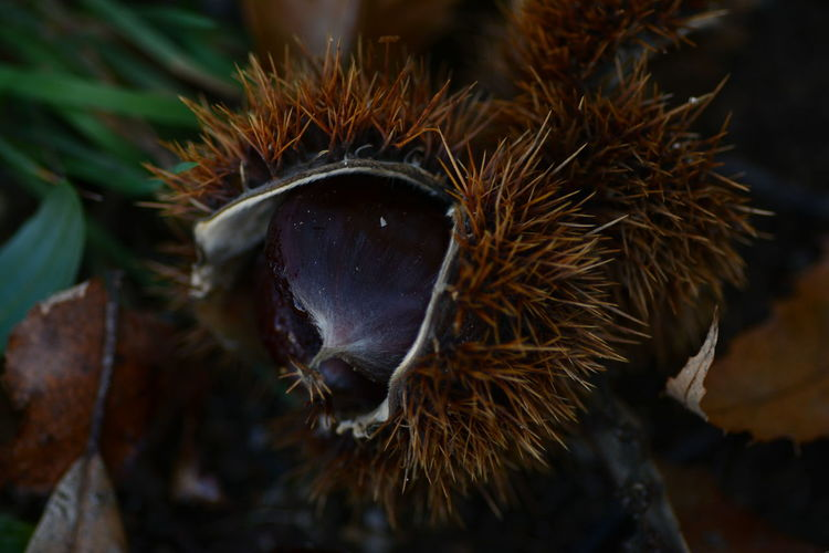 Close-Up Of Chestnut