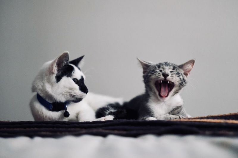 Annoyed Kittens Kitty Pet Photography  Pet Portraits Adorable Angery Animal Themes Annoyed Cute Day Domestic Animals Feline Furry Furrybabies Kitten Kitty Cat Looking Mammal Mean No People Pet Pets Predator