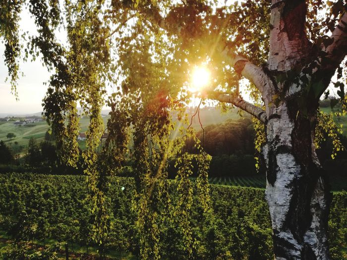 Tree Nature Sun Beauty In Nature Tranquility Outdoors Scenics No People Wine Country Styria