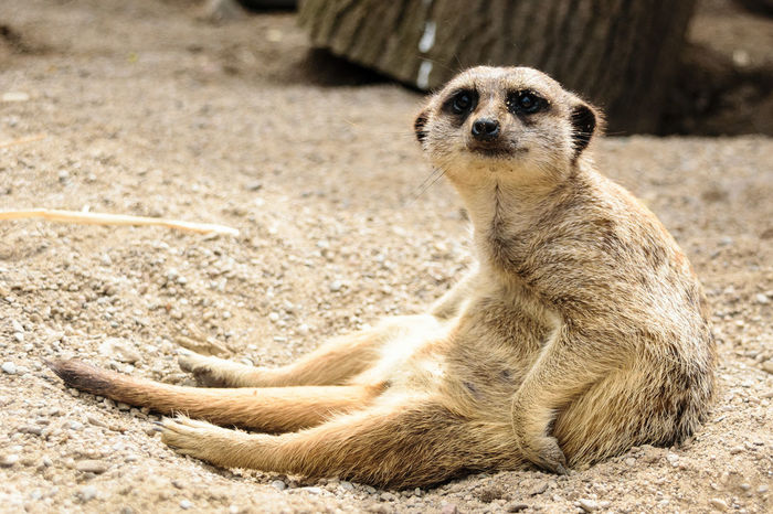 Meerkat Meerkats Sit Rodent Small Animal