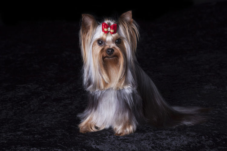 Portrait of yorkshire terrier relaxing on rug