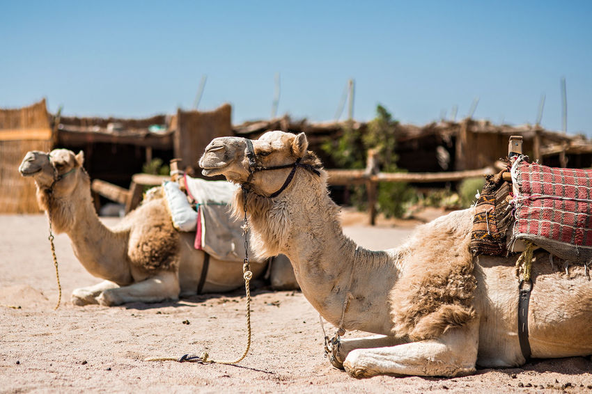 Beduines Couple Desert Egypt Hot Saddle Touristic Animals Arid Climate Camel Camelride Clear Sky Desert Domestic Animals Holster Hurghada Lying Down Nature Outdoors Sand