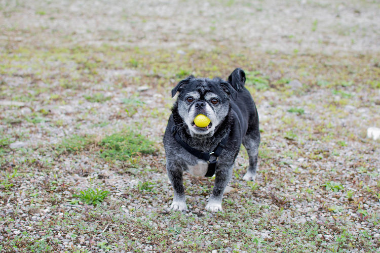 Portrait Of Dog Carrying Golf Ball In Mouth On Field
