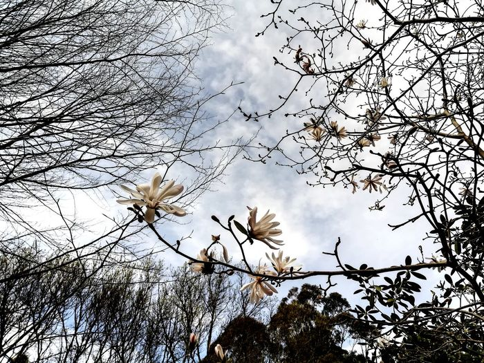 National Rhododendron Gardens Springtime💛 Springtime Flowers Spring Photography Springflowers Magnolia Blossoms Magnolia Flower Nature Photography Art Photography Nature_collection Shapes , Lines , Forms & Composition View From Ground Level Looking Up😍 Looking For Inspiration Skyward Skyward Bloom Tree Flying Branch Mid-air