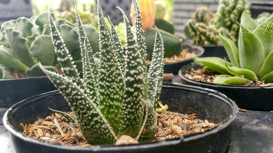 Cactus Growth Thorn Nature Potted Plant Plant Green Color Day Outdoors No People Close-up Prickly Pear Cactus Beauty In Nature Freshness