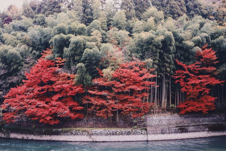 Autumn colors Autumn Leaves Japan Photography Architecture Autumn Autumn🍁🍁🍁 Beauty In Nature Built Structure Change Day Forest Growth Land Nature No People Outdoors Plant Red River Scenics - Nature Tree Water Waterfront The Great Outdoors - 2018 EyeEm Awards