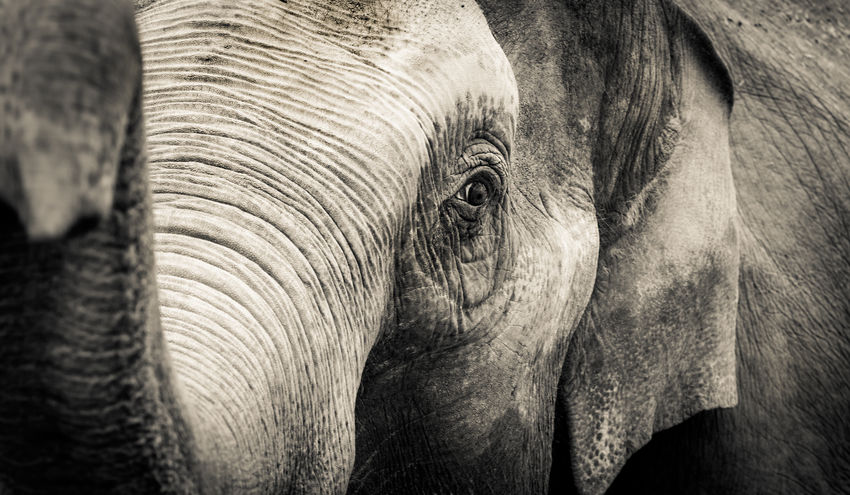Asian Elephant Animal The Portraitist - 2016 EyeEm Awards Animal Head  Animal Photography Animal Themes Animals In The Wild Asian  Beauty In Nature Detail Ears Elephant Elephantlove Eye Large Animal Natural Pattern Nature No People One Animal Safari Animals Textured  Traveling Wildlife Zoo Zoology
